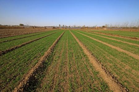 winter wheat: wheat field under the blue sky
