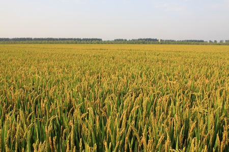 rice scenery plant crop food