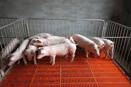 Ferkel im Gehege in einem Bauernhof Standard-Bild - 11254964
