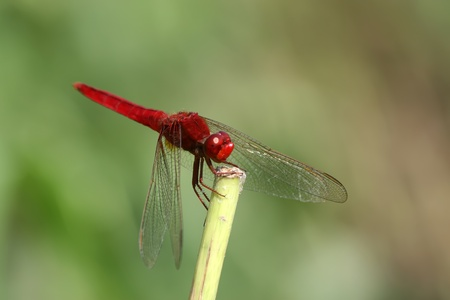 closeup of a red dragonfly on the tree branch in the wild photo