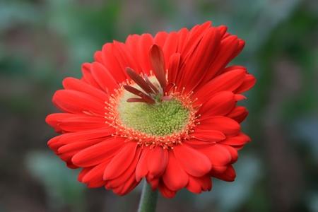 closeup of gerbera flower in a garden