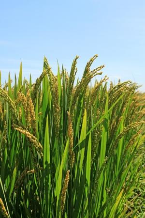 Reis Landschaft im ländlichen Nordchina Standard-Bild - 11424524
