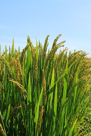 rice scenery in rural north china Stock Photo