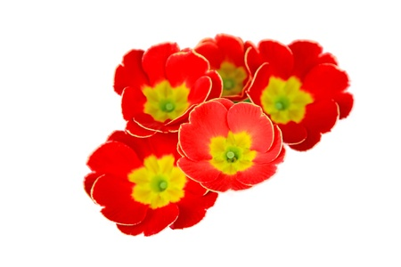 primrose: closeup of primrose flowers in a white background Stock Photo