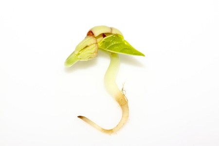 closeup of sprouts in white background. Stock Photo - 11648916