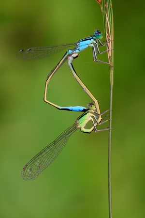 sexual intercourse: two mating damselflies on the vegetation