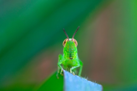 stared: a oxya lurking in the plant stem, taken photos in the natural wild state