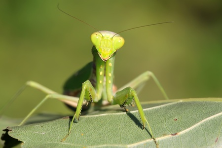 closeup of mantis in the wild photo