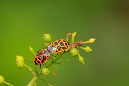 sexual intercourse: two stinkbugs on the green leaf