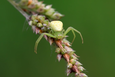 a kind of insects named crab spider on the green leaf photo