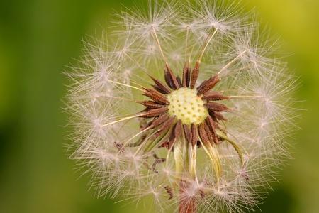blown away: dandelion seeds being blown away