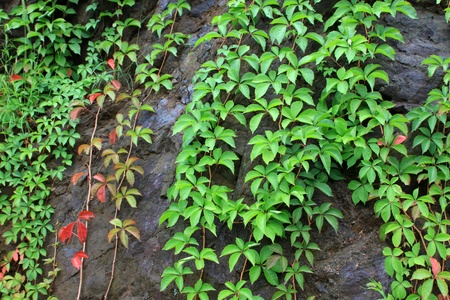ivy leaves on the wall , can be used as Chinese herbal medicines. photo