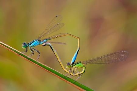 relaciones sexuales: dos damselflies de acoplamiento en la vegetación