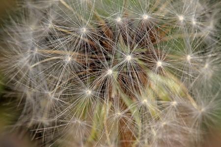 blown: dandelion seeds being blown away