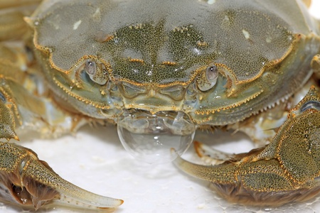 spitting: closeup of spitting bubble of crab