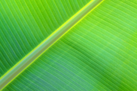 closeup of banana leaf texture  in the wild photo