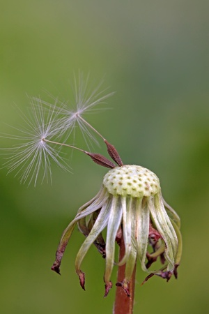 blown: dandelion seeds being blown away, leaving only a small part