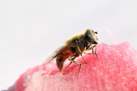 latent: closeup of syrphidae in the watermelon