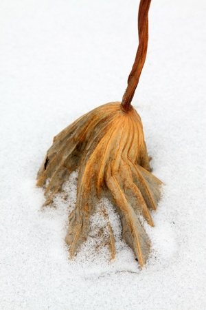 shrinking: dry lotus leaf in the snow in the wild Stock Photo
