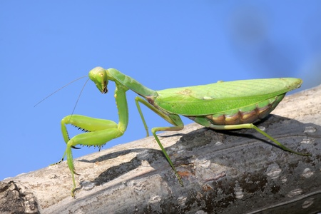 latent: closeup of mantis in the wild