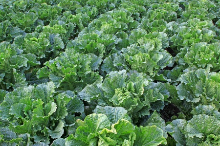 closeup of green chinese cabbage in the field Banco de Imagens