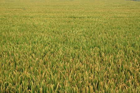 rice scenery plant crop food photo