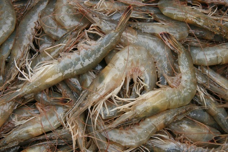 aquatic products: fresh prawns in an aquatic products farms, north china Stock Photo