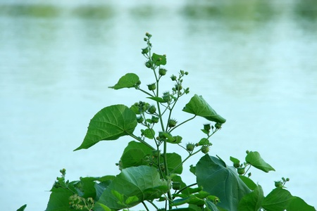 a kind of plant named abutilon, can be used as medicine, north china. photo
