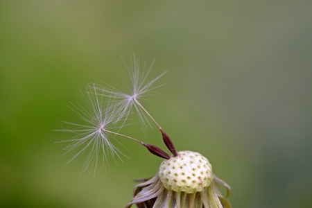 dandelion seeds being blown away, leaving only a small part photo