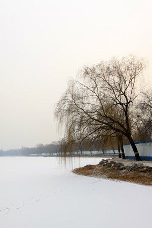 withered: withered and yellow trees in the snow in a park
