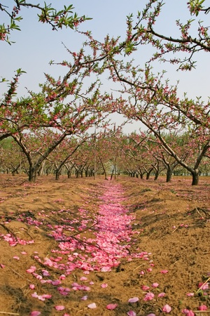 peach blossom bloom in an orchard north china photo