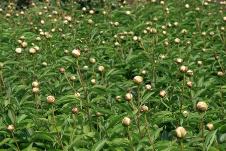 herbaceous: herbaceous peony flowers in a garden, north china Stock Photo