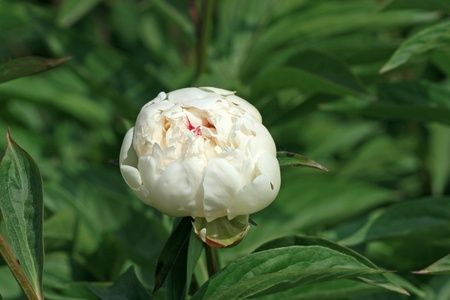 buttercup: herbaceous peony flowers in a garden, north china Stock Photo