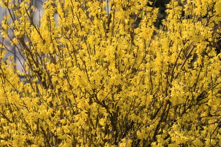 forsythia: closeup of forsythia flower, growing in early spring, gives the impression of a thriving.