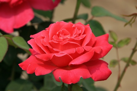 closeup of chinese rose, red, very pretty, can do green plants photo