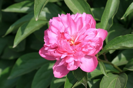 family gardening: herbaceous peony flowers in a garden, north china Stock Photo