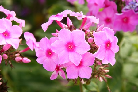 north china: closeup of phlox drummondii flowers in north china