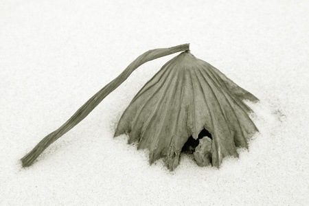dry lotus leaf in the snow in the wild photo