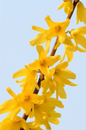 forsythia: closeup of forsythia flower, growing in early spring, gives the impression of a thriving  Stock Photo