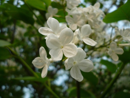 clove: closeup of clove buds, growing in early spring, gives the impression of a thriving