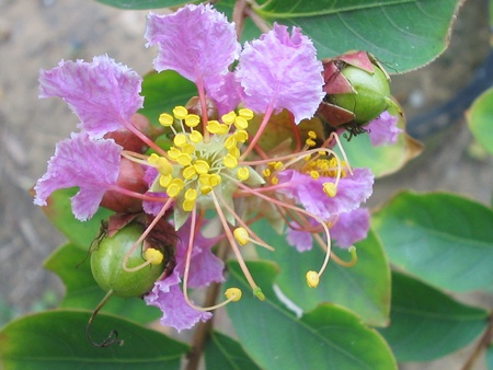 Crape myrtle flowers in a garden, north china photo