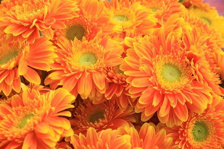 closeup of gerbera flowers on a simple color background  Stock Photo - 13031432
