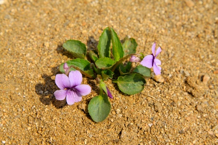 viola philippica, a kind of plant can used by Chinese traditional medicine photo