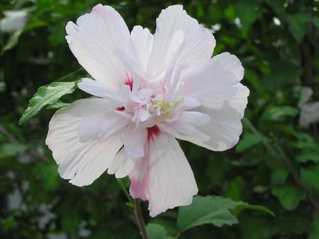 beautiful hibiscus flowers in a garden   photo