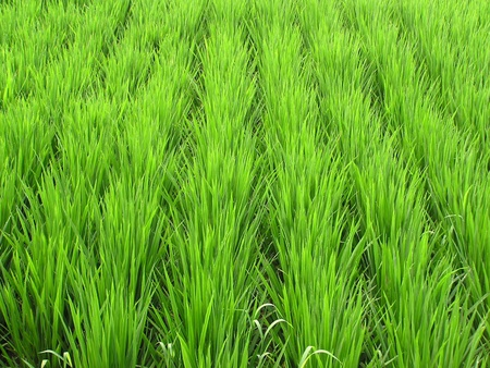 strong growth: Healthy and strong growth of rice in the wild Stock Photo