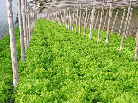 Lettuce in vegetable greenhouse, north china Stock Photo - 13441835