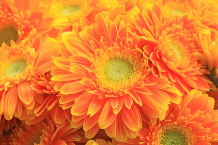 closeup of gerbera flowers on a simple color background  photo
