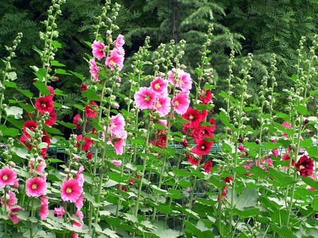 closeup hollyhock flowers, taken photos in the natural wild state, Luannan County, Hebei Province, China.