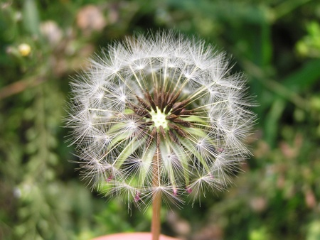 dandelion seeds in the wild photo