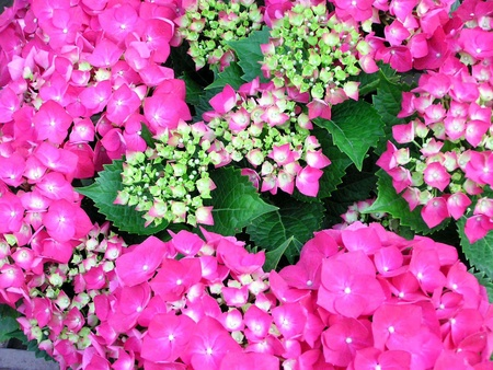 large leaf hydrangea flowers in full bloom, close up of pictures, red, very pretty, can do green plants, can be potted, taken photo in Luannan County, Hebei Province, china.  photo